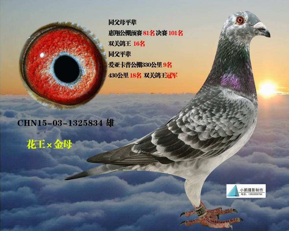 动物鸽鸽子蕾丝图示鸟教学1000_800简单发饰蝴蝶结鸟类图片